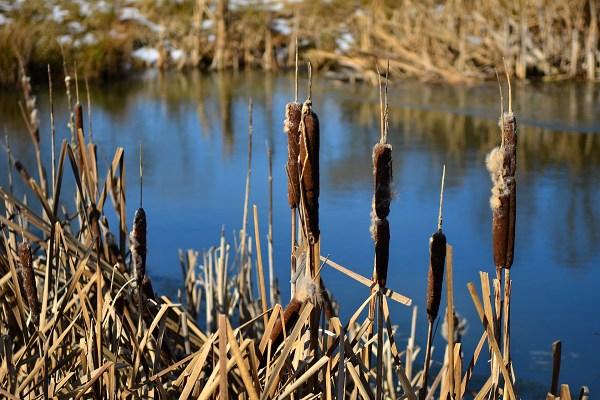 Rákosí na rybníku Samonín