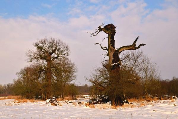 Solitérní dub
