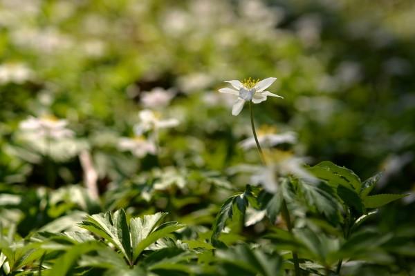 D1_kvet