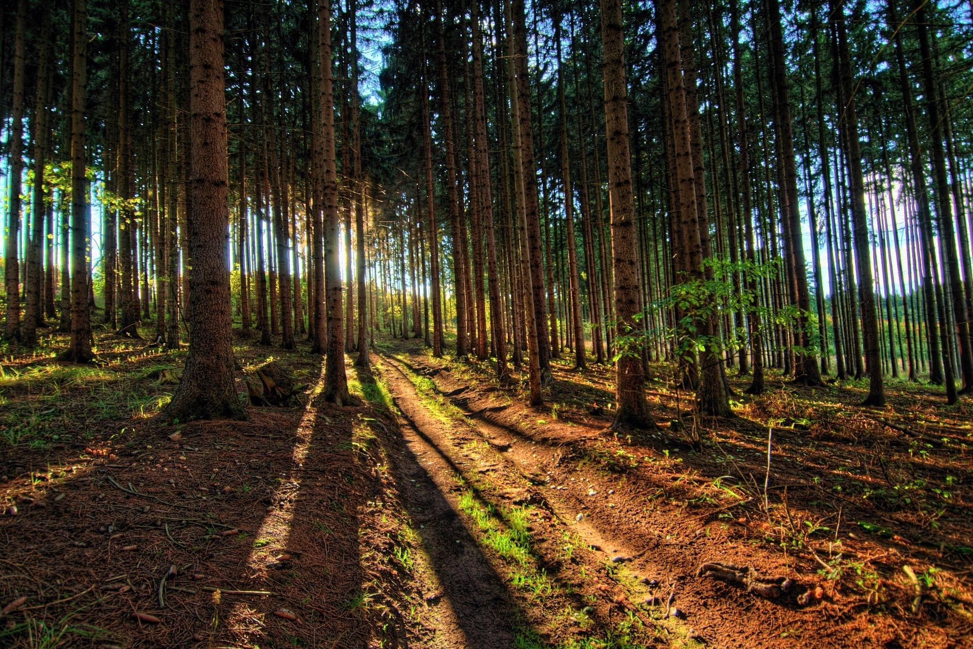 Zapadající slunce ve smrkovém lese